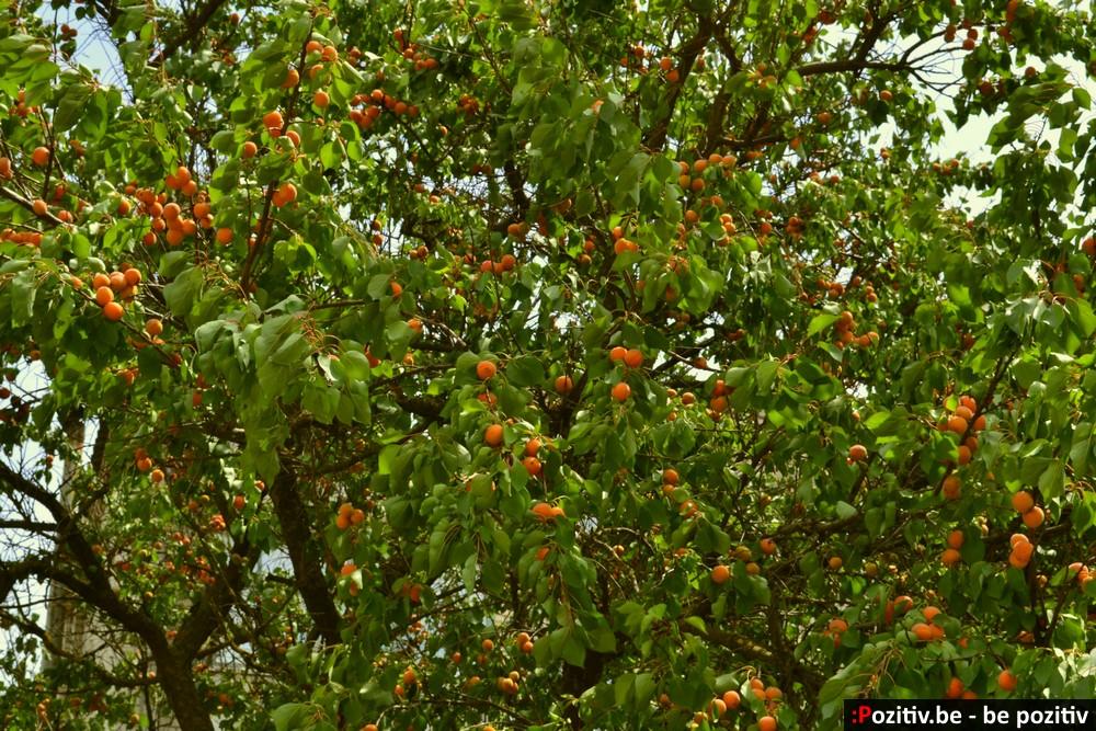 Геническ, абрикосы