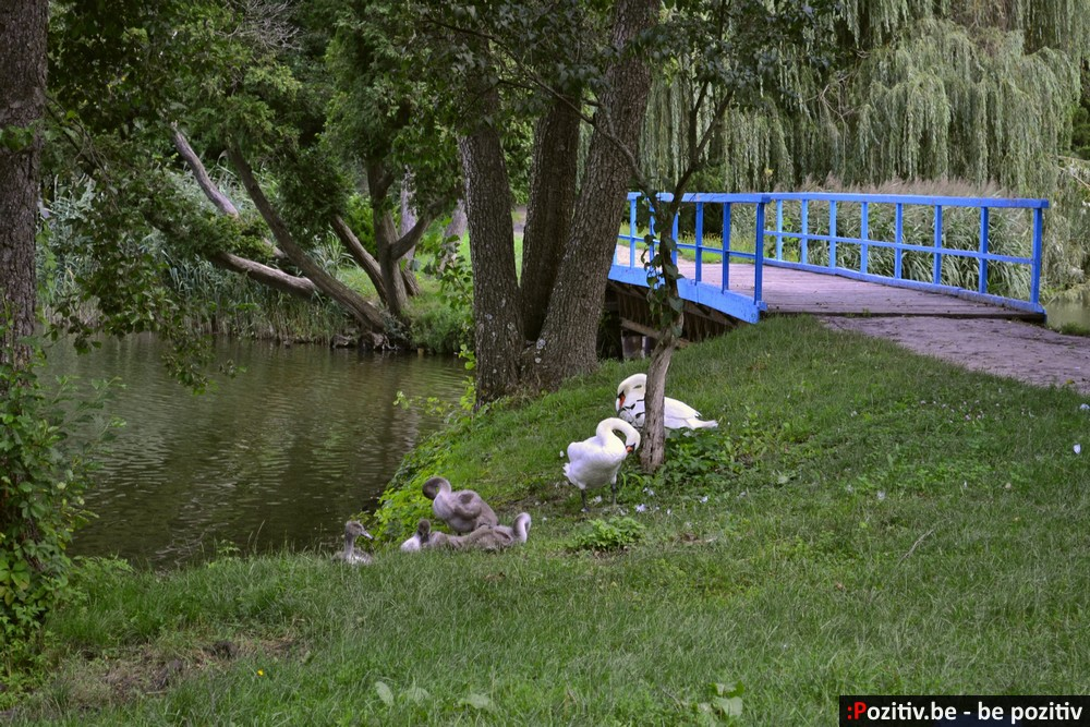 Тростянецкий дендропарк, лебеди